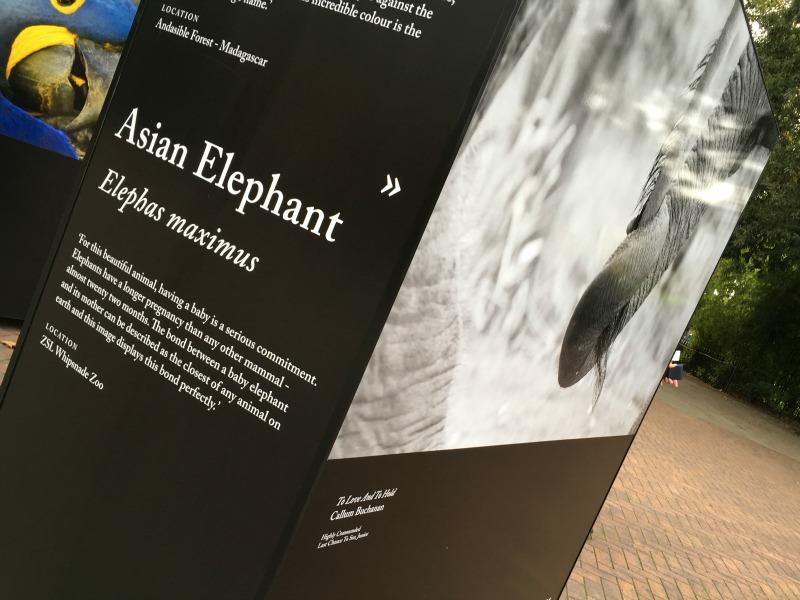 Elephant pregnancies
